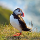 Puffin Standing On Grassy Cliff