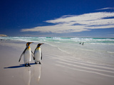 King Penguins At Volunteer Point On The Falkland Islands Papier Photo par Neale Cousland