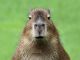 Portrait Of A Young Capybara