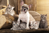 Cat And Dog  British Kittens And French Bulldog Puppy In Retro Background