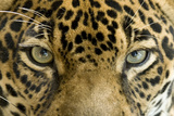 Close Up Of Jaguar Or Panthera Onca Eyes  Costa Rica