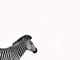 Zebra Isolated Papier Photo par Donvanstaden