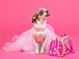 Tiny Glamour Dog With Pink Accessories Isolated