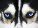 Close Up On Blue Eyes Of A Dog