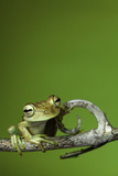 Tree Frog Golden Color Rainforest Amphibian On Branch Background Copy Space