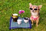 Little Chihuahua Dog Wearing Pink T-Shirt Relaxing In Meadow Picnic