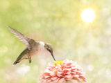 Dreamy Image Of A Ruby-Throated Hummingbird Feeding On A Pink Zinnia