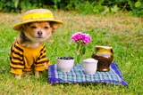 Small Dog Wearing Yellow Suit And Straw Hat Relaxing In Meadow