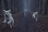 Three White Dogs Running