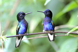 Velvet-Purple Coronet Hummingbird