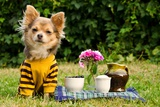 Cute Chihuahua Dog At The Picnic In Summer Garden
