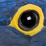 Hyacinth Macaw  1 Year Old  Close Up On Eye