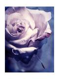 Charming Lavender Rose