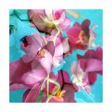 Dreamy Miltonia Orchid