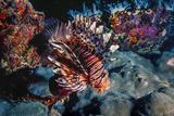 Lionfish at Daedalus Reef (Abu El-Kizan)  Red Sea  Egypt