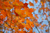 Colorful Orange Fall Maple Tree Leaves  Quebec City  Quebec  Canada