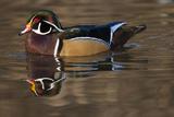 Wood Duck  British Columbia  Canada