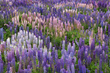 Lupine Flowers in Fiordland National Park  South Island  New Zealand