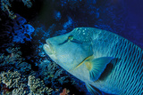 Humphead Wrasse with Soft Corals at Elphinstone Reef  Red Sea  Egypt