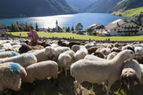 Sheep in the Alps Between South Tyrol  Italy  and North Tyrol  Austria