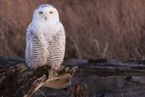 Snowy Owl  British Columbia  Canada