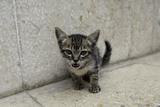 Cute Kitten on the Streets of Old Havana  Havana  Cuba