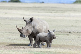 White Rhinoceros Mother with Calf  Kenya
