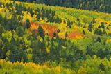 Quaking Aspen in Stages of Color on Baldy Mountain  New Mexico  USA