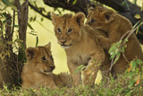 Lion Cubs in the Bush  Maasai Mara Wildlife Reserve  Kenya