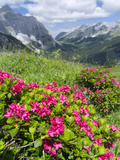 Hairy Alpenrose in the Karwendel Mountains  Austria