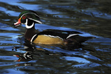 Male Wood Duck  Crystal Springs Rhododendron Garden  Oregon  USA