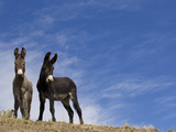Wild Burros  Cimarron  New Mexico  USA