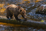 Grizzly Bear Watching for Salmon  Tongass National Forest Alaska  USA