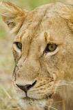 Lioness Up Close  Maasai Mara Wildlife Reserve  Kenya