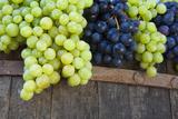 Freshly Harvested Grapes  Chianti  Tuscany  Italy