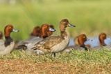Redhead Duck Flock Resting by Freshwater Pond  Texas  USA