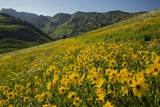Sunflowers Meadow  Little Cottonwood Canyon  Utah  USA