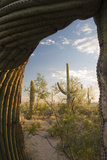 Saguaro Forest Saguaro National Park  Arizona  USA
