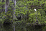 Great Egret in Everglades National Park  Florida  USA