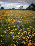 Wildflowers  Avenales Wildlife Area  Shell Creek Road  California  USA