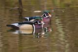 Wood Ducks  British Columbia  Canada