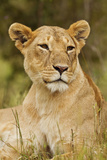 Lioness Up Close  Maasai Mara Wildlife Reserve  Kenya