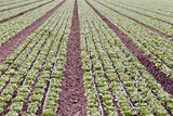 Neat Rows of Organic Lettuce on Farm  Soledad  California  USA