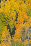Quaking Aspens in a Fall Glow  Bald Mountain  New Mexico  USA