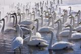 Whooper Swans  Hokkaido  Japan