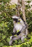 Red Colobus Monkey  Jozani Chakwa Bay NP  Zanzibar  Tanzania