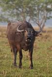 Wild Buffalo in the Grassland  Kaziranga National Park  India