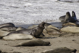 Northern Elephant Seal Colony  San Simeon State Park  California  USA