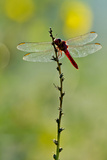 Roseate Skimmer Dragonfly Resting on Perch  Texas  USA