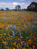 Wildflowers  Avenales Wildlife Area  Santa Margarita  California  USA